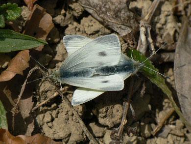 Pieris rapae (Kleiner Kohlweissling)