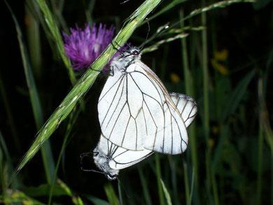 Aporia crataegi (Baumweissling)