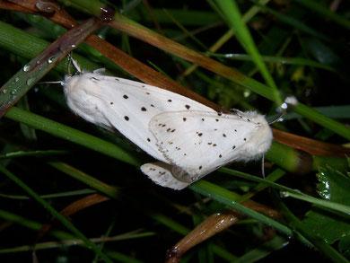 Spilosoma lubricipeda (Weisser Tigerbär oder Weisse Tigermotte)