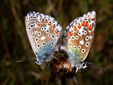 Polyommatus bellargus (Himmelblauer Bläuling)