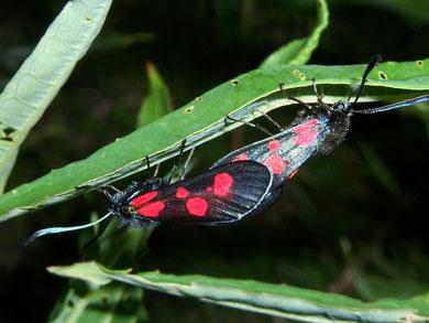 Zygaena lonicerae (Grosses Fünffleck-Widderchen)