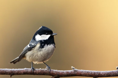 Tannenmeise (Periparus ater) / Coal Tit