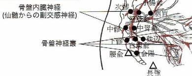 副交感神経と八髎穴・腰兪