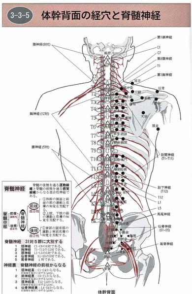 背中の経穴と脊髄神経:脊柱起立筋(棘筋・最長筋・腸肋筋)、多裂筋、腰方形筋
