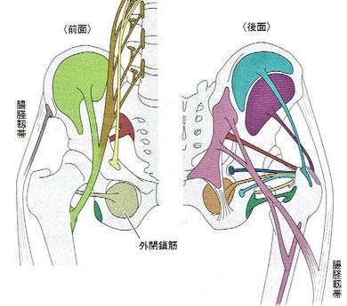 腸腰筋:大腰筋+腸骨筋