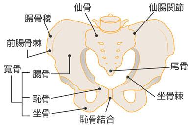 仙腸関節:仙骨と腸骨を結ぶ関節