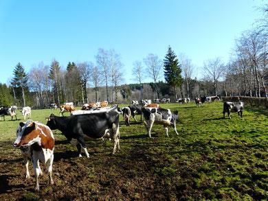 ferienbauernhof eifel mit kühen