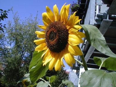 Sonnenblume, WK