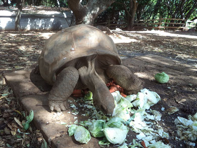 Tortue Géante Des Seychelles / Crédit Photo: Althéa
