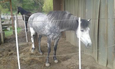 Pferd mit Kniebruch; Schienbeinbruch, Behandlungsansatz: Heilerde