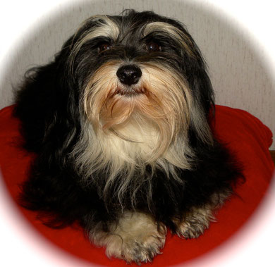 Z Farmy Zvirat Havanese OUR HAVANESES/ FEMALES...