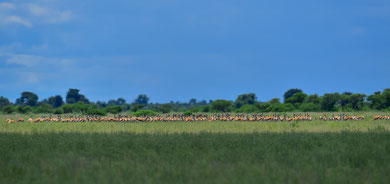 Springbok-Herde in der Nxai Pan