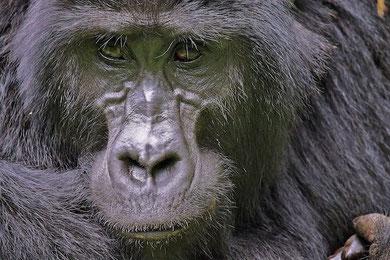 Die Gesichtszüge eines Gorillas sind ungemein charismatisch!