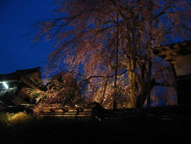 高野の枝垂れ桜