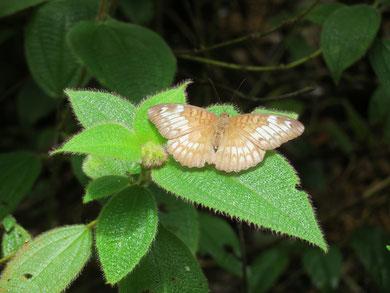 イアピスコイナズマ(Tanaecia iapis)♀