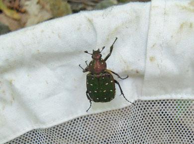 昆虫少年の憧れ、アオアシナガハナムグリ