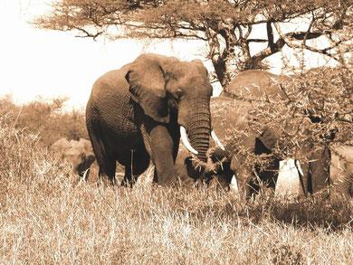 Eléphants à Tarangiré