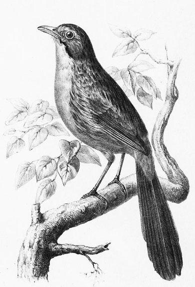 Rhopophilus pekinensis