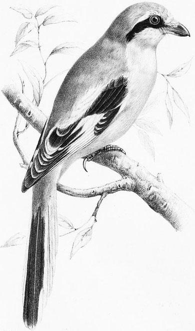 Lanius sphenocercus