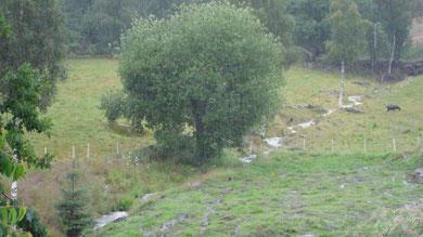großer Salweidenbaum bei sehr starkem Regen am Bachlauf auf Espetveit