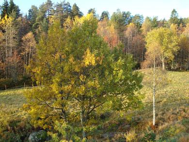 Eichen im frühen Herbst am Teich vor dem Wohnhaus