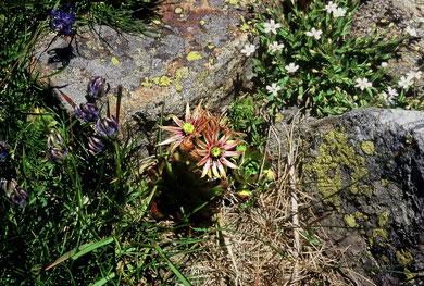 Sempervivum grandiflorum × Sempervivum montanum, Monte Rosa, in situ, Foto; Mariangela Costanzo, alle Rechte vorbehalten