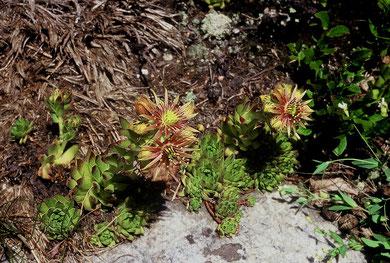 Sempervivum grandiflorum × Sempervivum montanum, Monte Rosa, in situ, Foto; Mariangela Costanzo