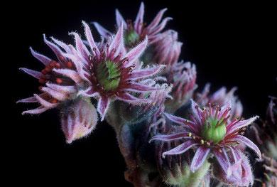 Blüten von Sempervivum riccii bzw. Sempervivum tectorum , Monti Sibruini, Foto: Mariangela Costanzo, alle Rechte vorbehalten