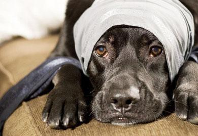 Kopfverband beim Hund