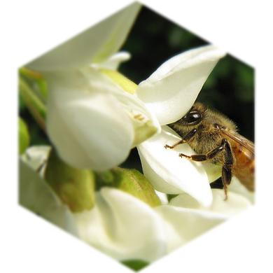 Robinienblüte mit Biene