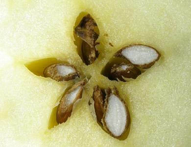 Un pentagramme naturel dans la pomme