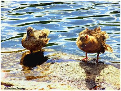 les  2 canards