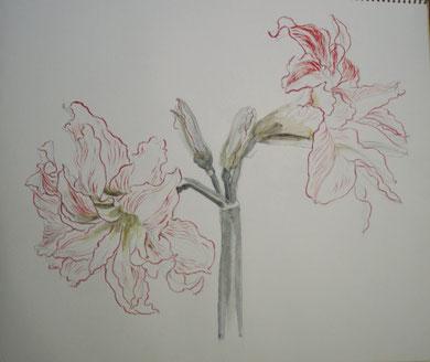 Amaryllis アマリリス