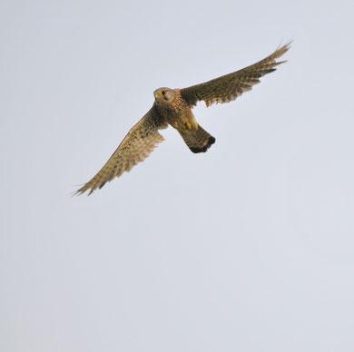 Faucon crécerelle © Erick LAUCHER