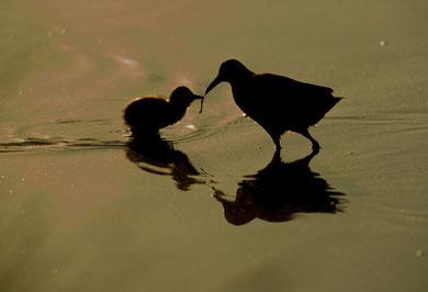 Râle d'eau & son poussin © E . LAUCHER