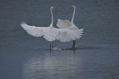 Ballet de grandes aigrettes © E.LAUCHER