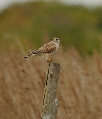 Faucon crécerelle © E. LAUCHER
