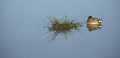 Sarcelle d'hiver © E. LAUCHER