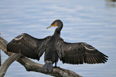 Grand cormoran © E. LAUCHER