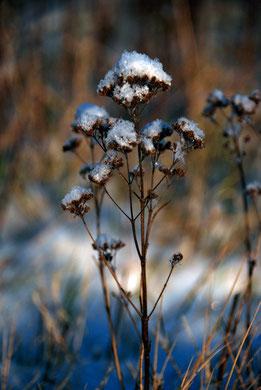 Wild marjoram seed heads