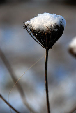 Seedhead and snow