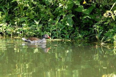 poule d'eau dans lesmarais poitevin