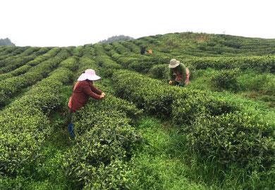 Cueillette Guizhou Maofeng Tea Brao