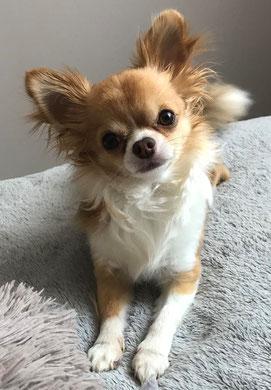 Chihuahua marron et blanc