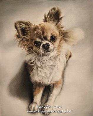 Chihuahua marron et blanc aux pastels secs