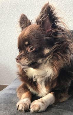 Chihuahua marron foncé et blanc