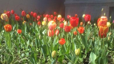 Tulipanes de Casa Carnacini.