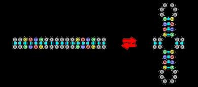 ADN palindromique