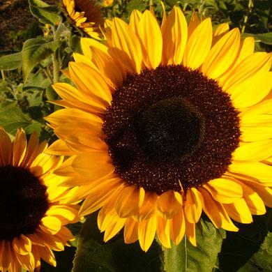 Sonnenblumen...(nicht in der Heide ;-)