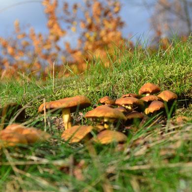 Pilze im Heidewald...  *  Svampor i skogen...